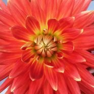 Happy Dahlia Farm