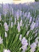 Lavender Bee Farm