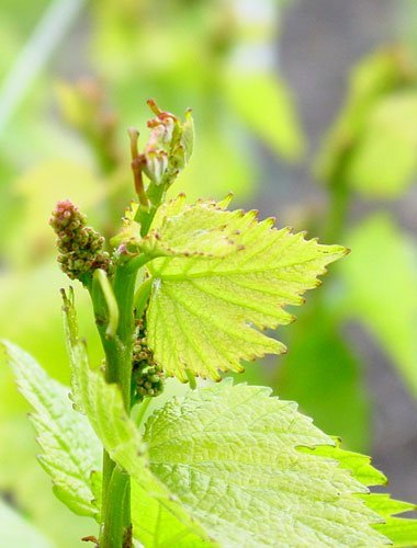 Cluster formation in our Green Valley vineyard