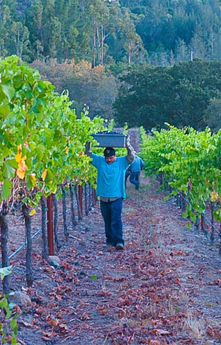 Harvest in our Russian River Valley home