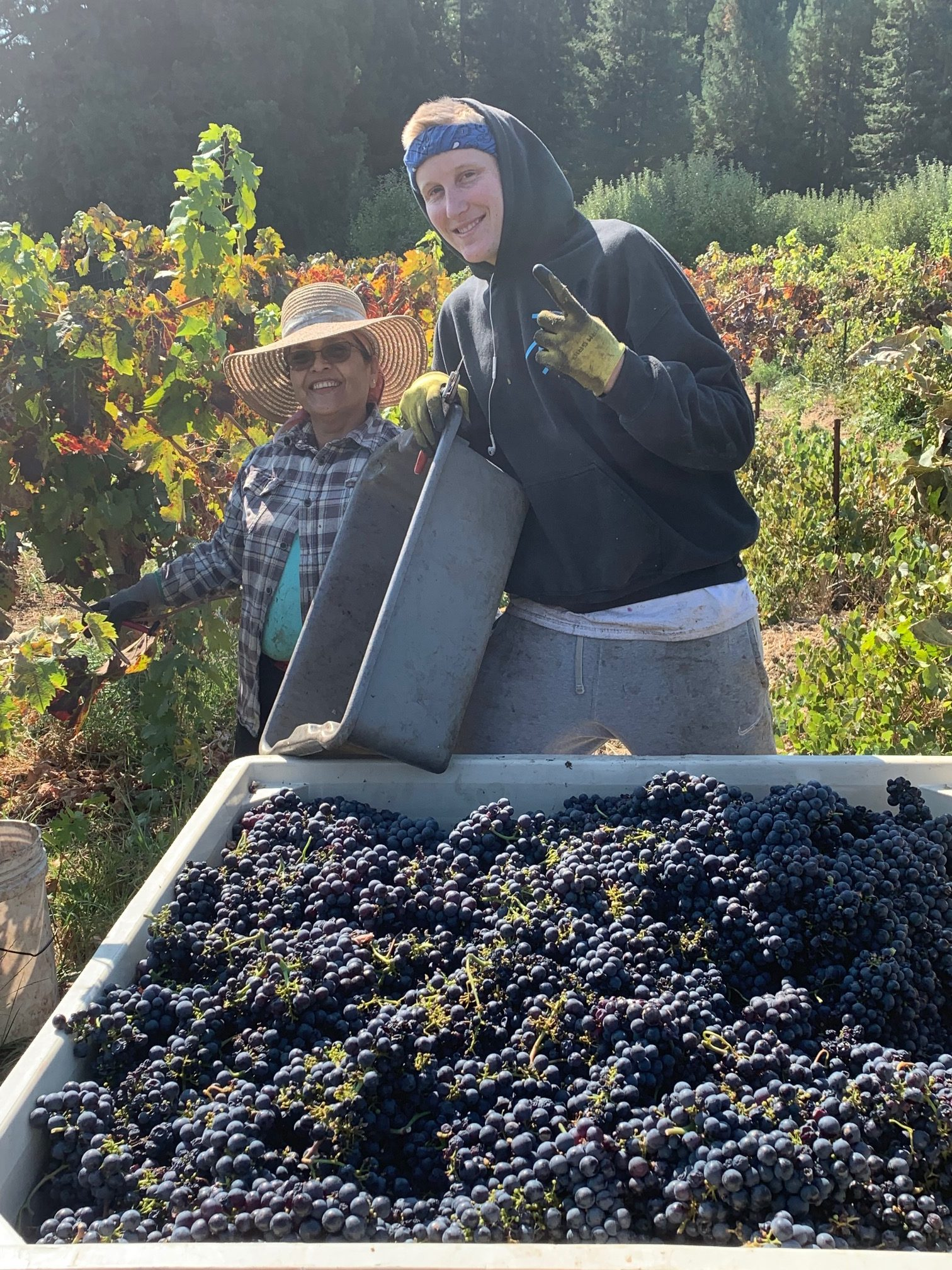 Head trained, dry farmed, old clone Zinfandel. Delicious for wine, juice, and eating fresh off the vine.