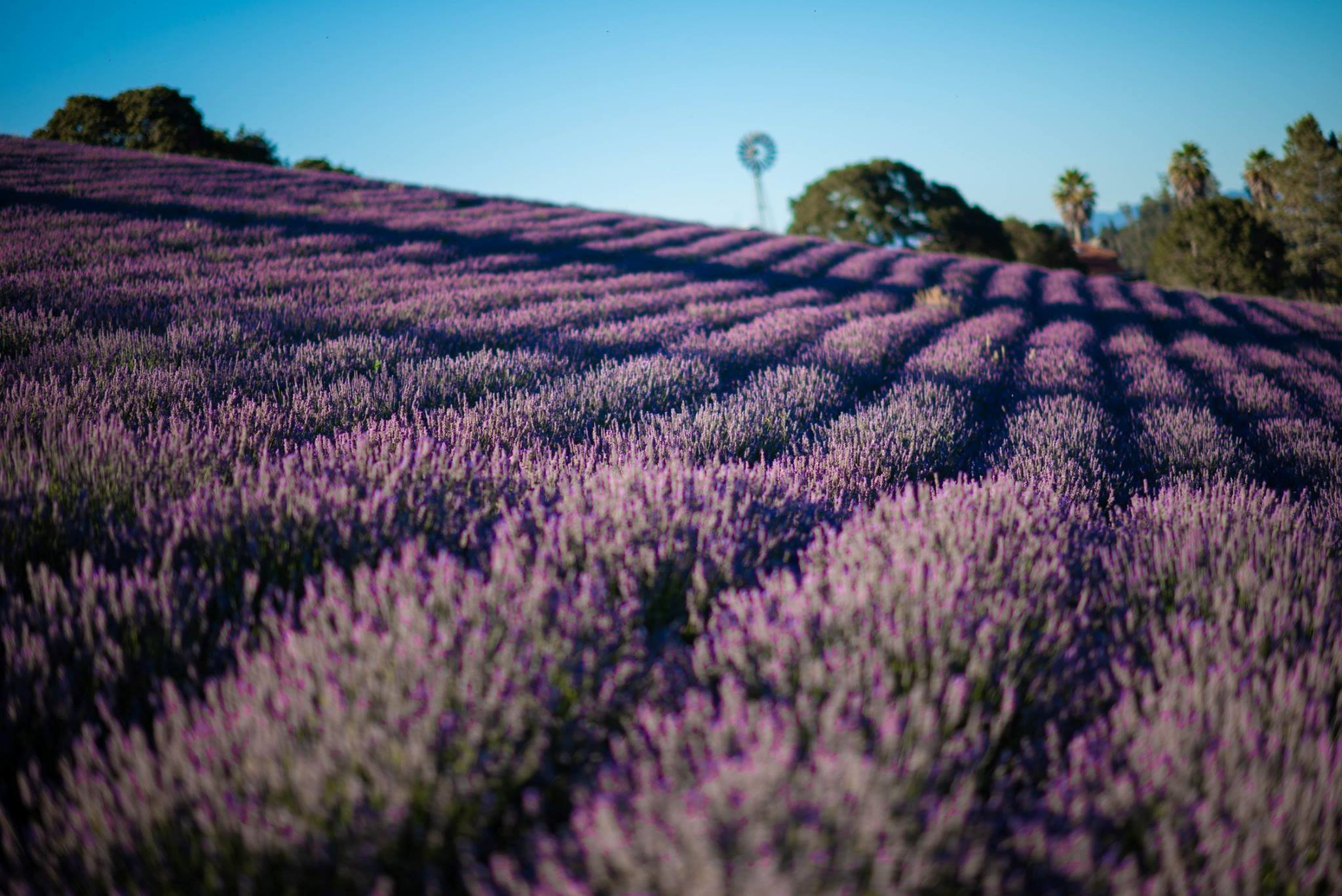 Lavender Summer Fields
