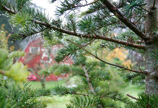 santas trees